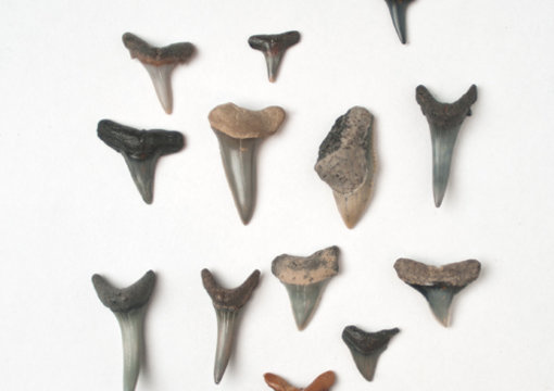 find you at least 5 fossilized sharks teeth from a FL beach