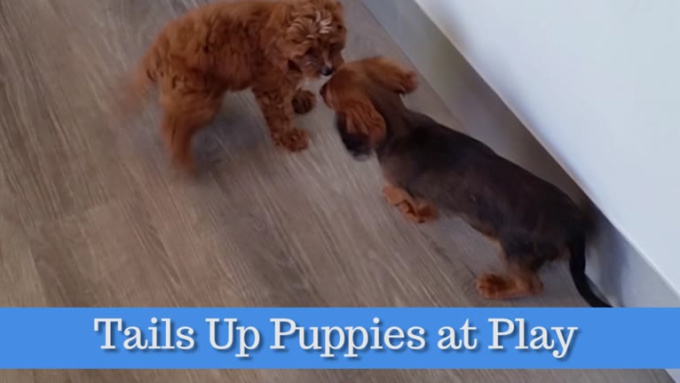 Tails Up Puppies at Play_2_