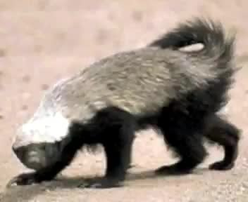 create a voice over as Randall, the honey badger