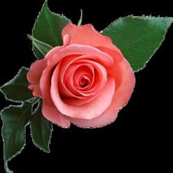 rosefight