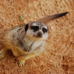 media_meerkat