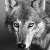 wolfiemozart