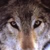 wolvesofmalibu